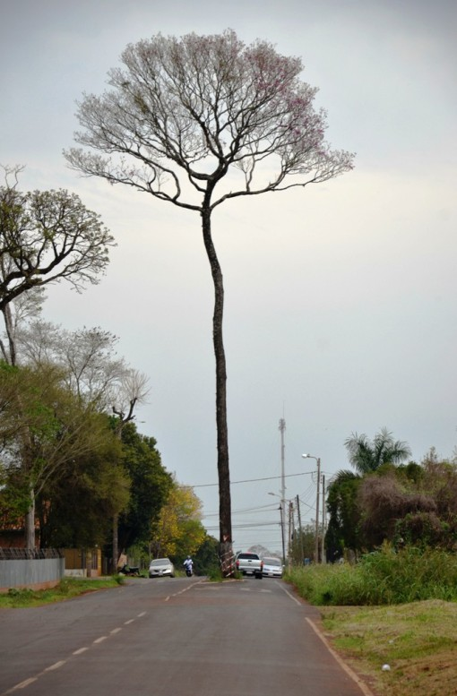 La primera paralela a la avenida Osvaldo Tischler, tiene también en el medio de la calle a otro imponente árbol que se observa desde lejos.