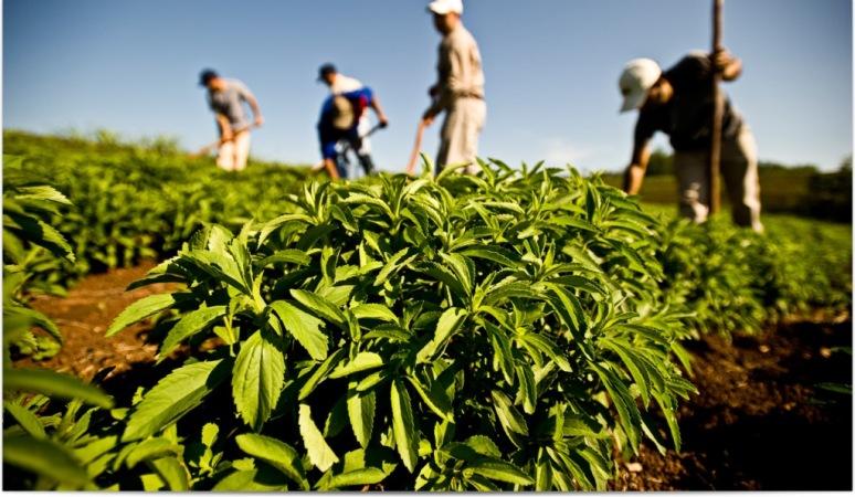 La hierba crece al natural en la serlva paranaense pero después comenzó su producción para su industrialización.